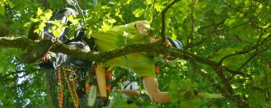 Ein Baumpfleger klettert über einen Ast und schneidet mit der Handsäge