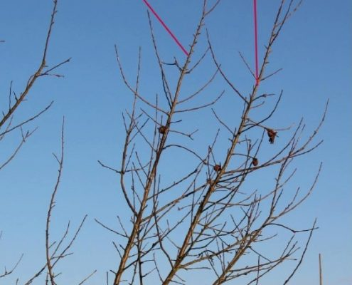 Darstellung des Schlankschnittes an einem Beispielbaum Teil 1