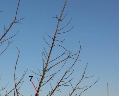 Darstellung des Schlankschnittes an einem Beispielbaum Teil 4