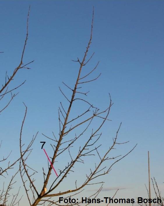 Schlankschnitt Funktionale Baumpflege bei großkronigen Obstbäumen