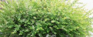 Krone voller grüner Blätter einer Harlekinweide