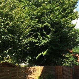 Knapp hinter einem Zaun steht ein Lindenbaum