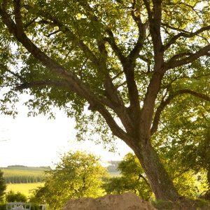 Schief gewachsener Walnussbaum im Garten