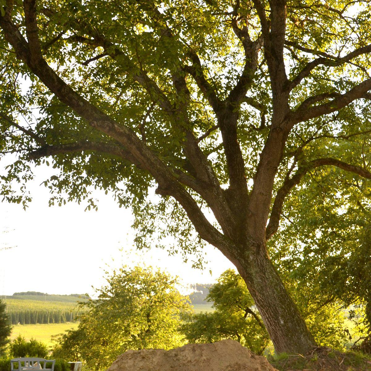 Walnussbaum wurzel