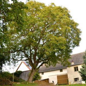 Großer schiefer Walnussbaum im Garten