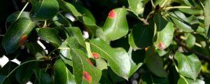 Blätter eines Birnbaumes mit orangen Flecken
