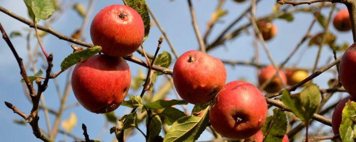 Zweig eines Apflebaums mit saftigen roten Äpfeln