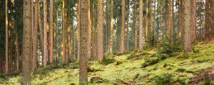 Fichtenwald im Spätherbst