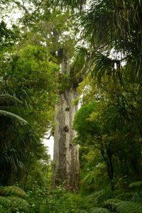 Dicker Stamm und Krone eines großen Kauri-Baumes