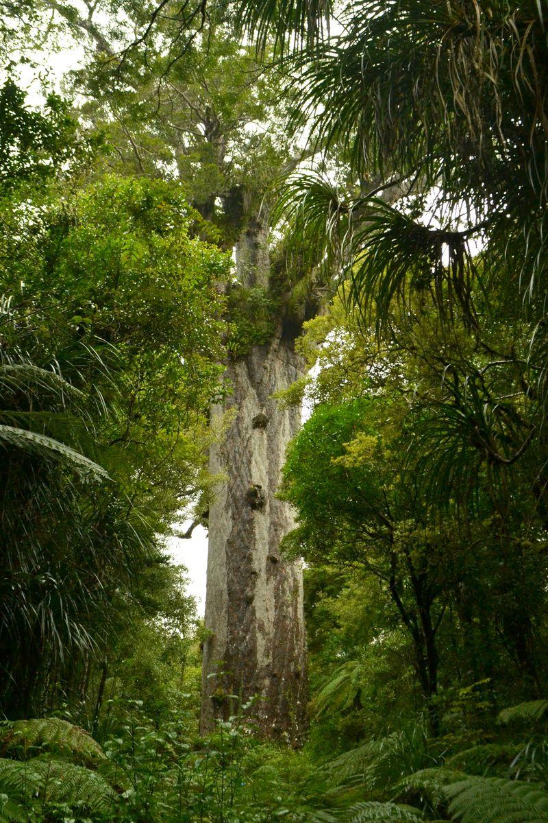 Kauri-Bäume: Tāne Mahuta – Gott des Waldes