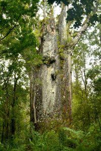 Stamm eines riesigen uralten Kauribaumes