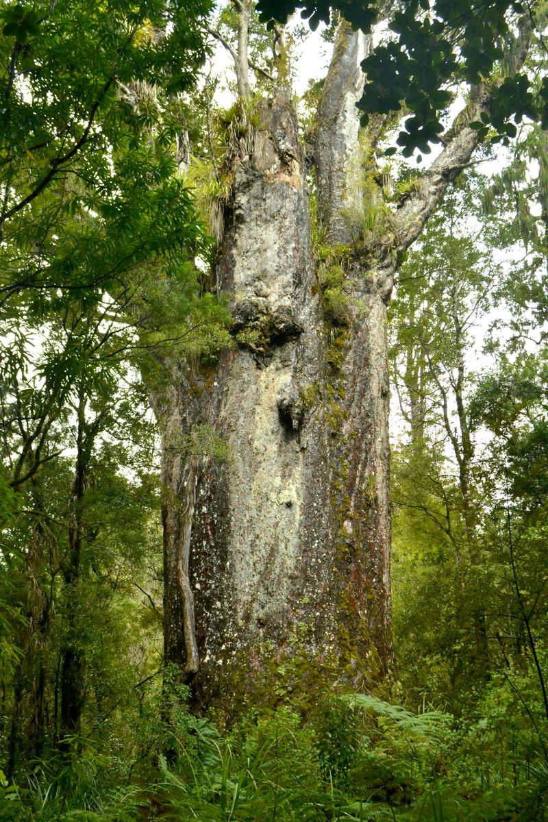 Kauri-Bäume: Te Matua Ngahere – Vater des Waldes