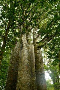 Vier eng nebeneinander aufwachsende Kauri Bäume