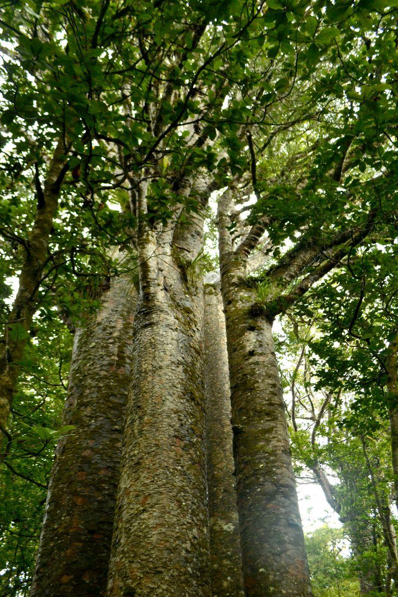 Kauri-Bäume: The Four Sisters