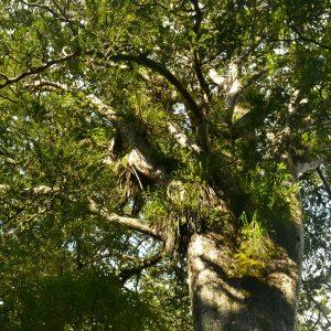 Mächtige Krone eines Kauri-Baumes