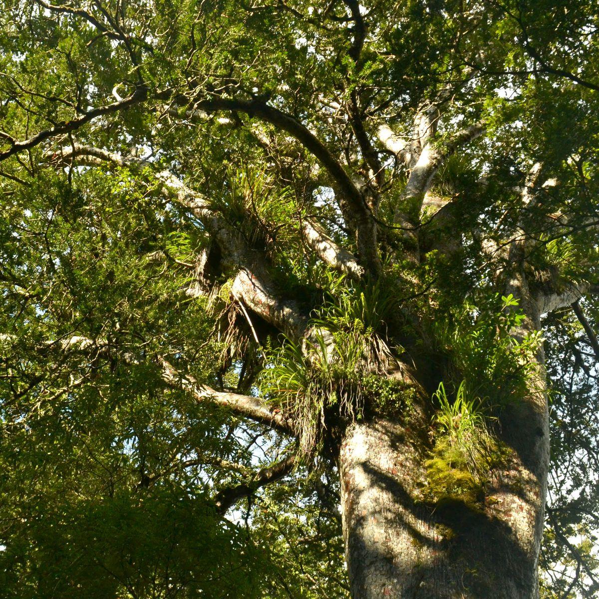 Kauri-Bäume: Neuseelands bedrohte Giganten