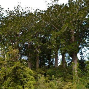 Mehrere riesige Kauri-Bäume ragen aus dem Blätterdach