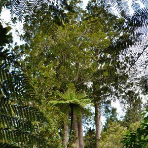 Zwischen Baumfarnen ragen Kauri-Bäume auf