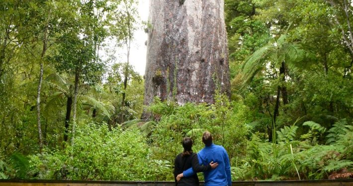 Zwei Personen stehen staunend vor einem riesigem Kauri-Baum