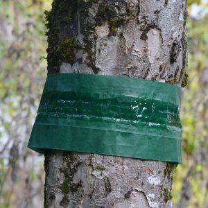 Baumstamm mit grünem Leimring