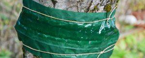Leimringe gegen Frostspanner an Obstbäumen