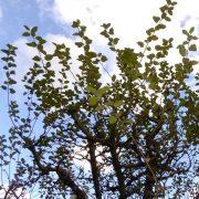 Krone eines Apfelbaumes mit langen abstehenden Trieben