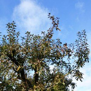 Dichte Krone eines Apfelbaumes