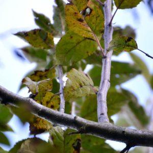 Rechtwinklig abstehender Trieb an einem Zweig