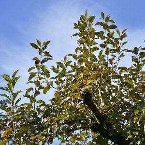 Dicker Ast eines Apfelbaumes mit vielen langen abstehenden Trieben