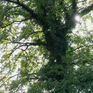Stamm und Krone einer Eiche mit dichtem Efeubewuchs
