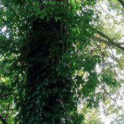 Dichter Efeu an einen Baumstamm