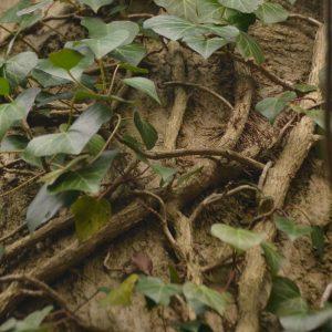 Kleine Wurzeln an den Efeuzweigen klammern sich an den Stamm