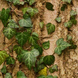 Efeuzweige mit Blättern und kleinen feinen Haftwurzeln