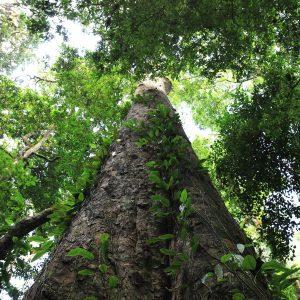 Der mächtige Stamm des höchsten Baumes Afrikas wächst durchs Blätterdach nach oben