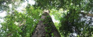 Dicker Baumstamm mit grünen Lianen wächst durch das Blätterdach