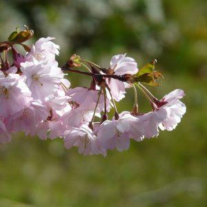 Zwieg einer Kirsche mit Büscheln von rosafarbenen Blüten