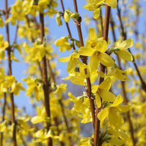 Zweige mit gelben Blüten der Forsythie