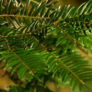 Zweig eines Tannenbaumes ohne Schmuck