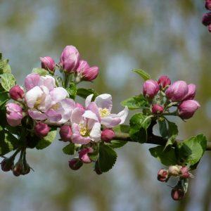 Apfelbaum mit offenen und geschlossenen Blüten