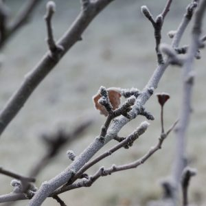 Knospen am Apfelbaum im Winter