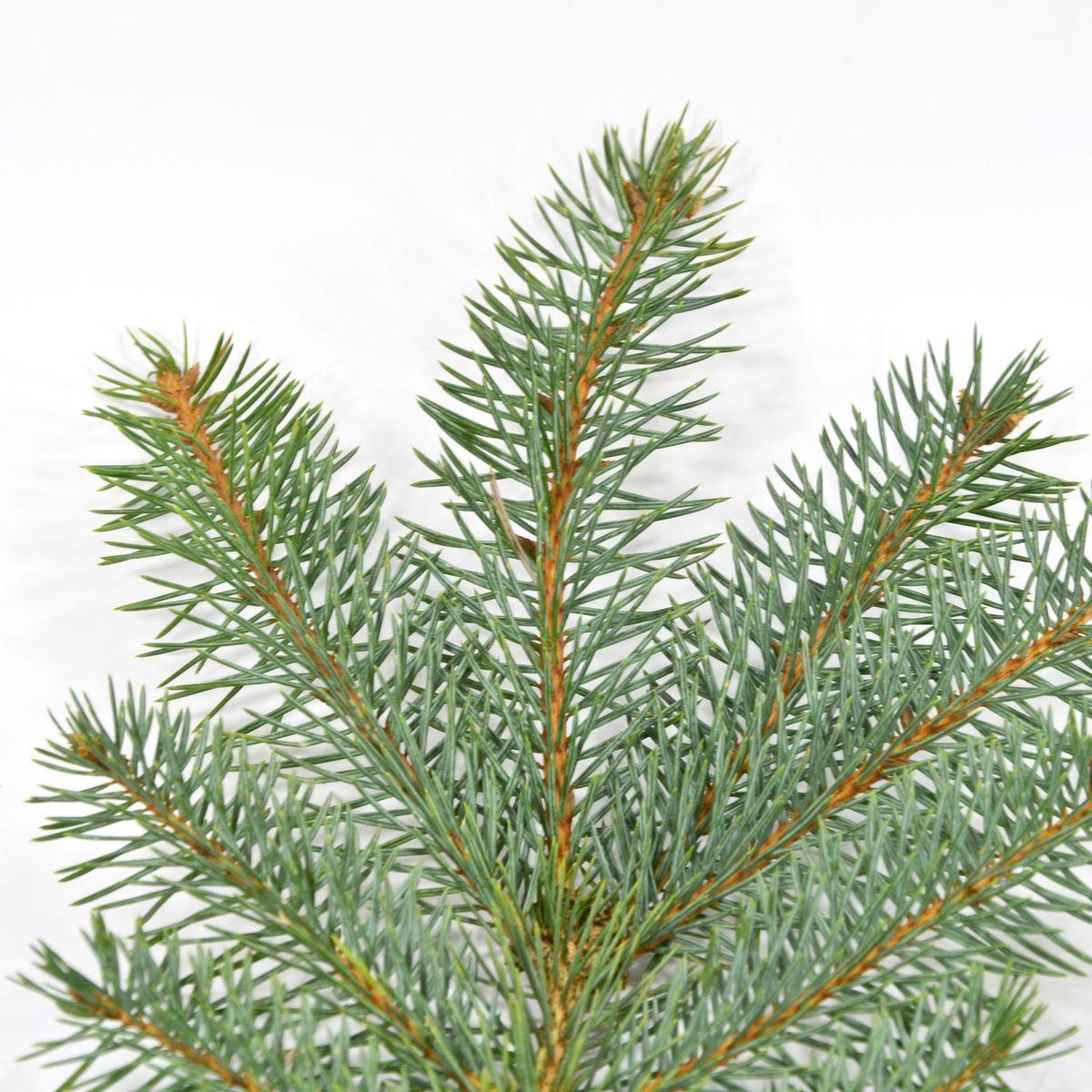 Weihnachtsbaumsorten im Vergleich: Die Blaufichte