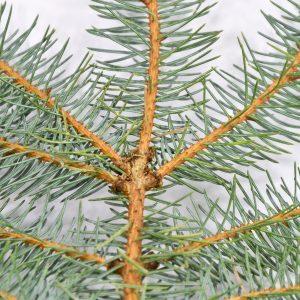 Hellbraune Triebe der Blaufichte mit bläulichen Nadeln