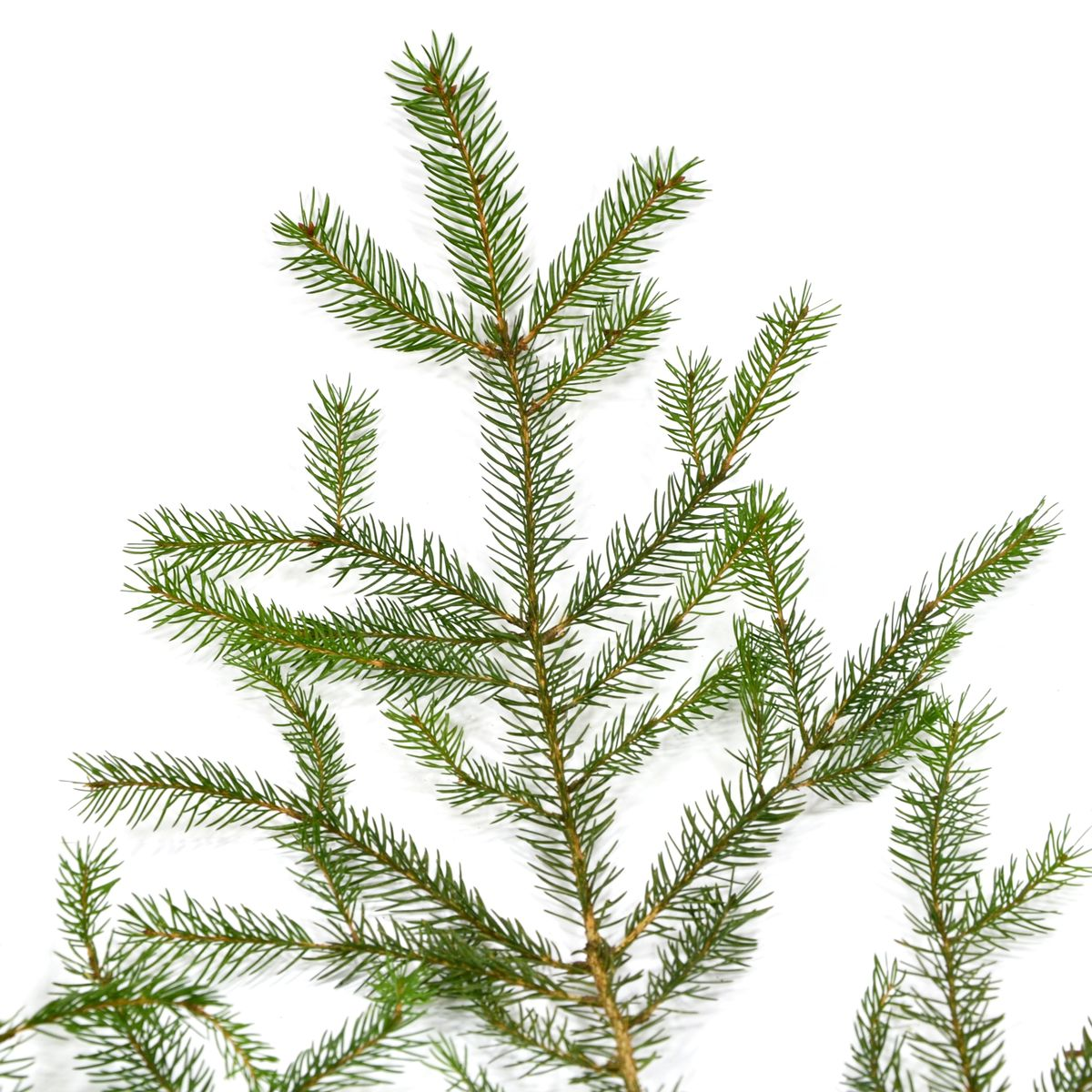 Weihnachtsbaumsorten im Vergleich: Die Fichte