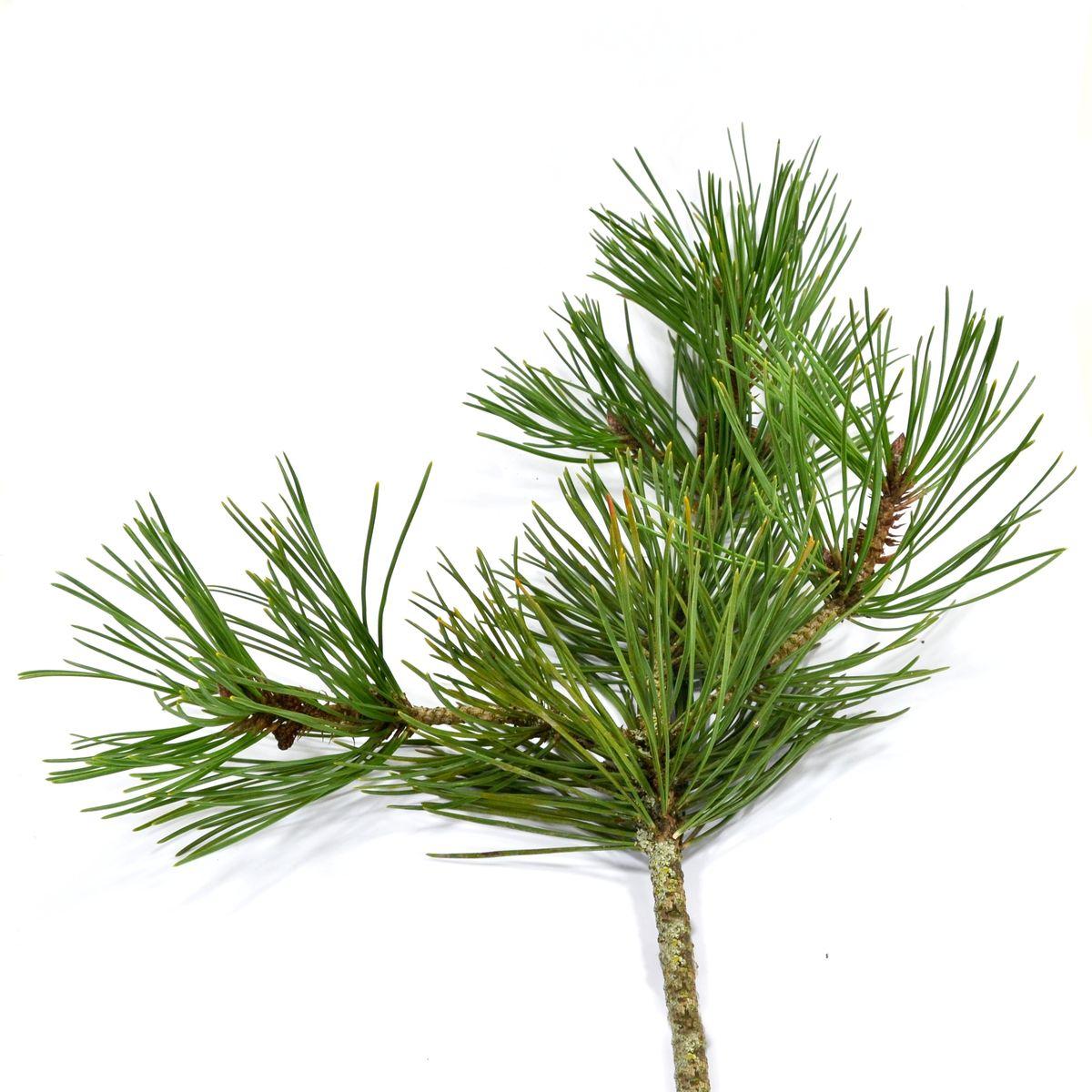 Weihnachtsbaumsorten im Vergleich: Die Kiefer
