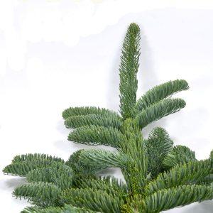 Grüne Nadeln an Zweig der Nobilis Tanne