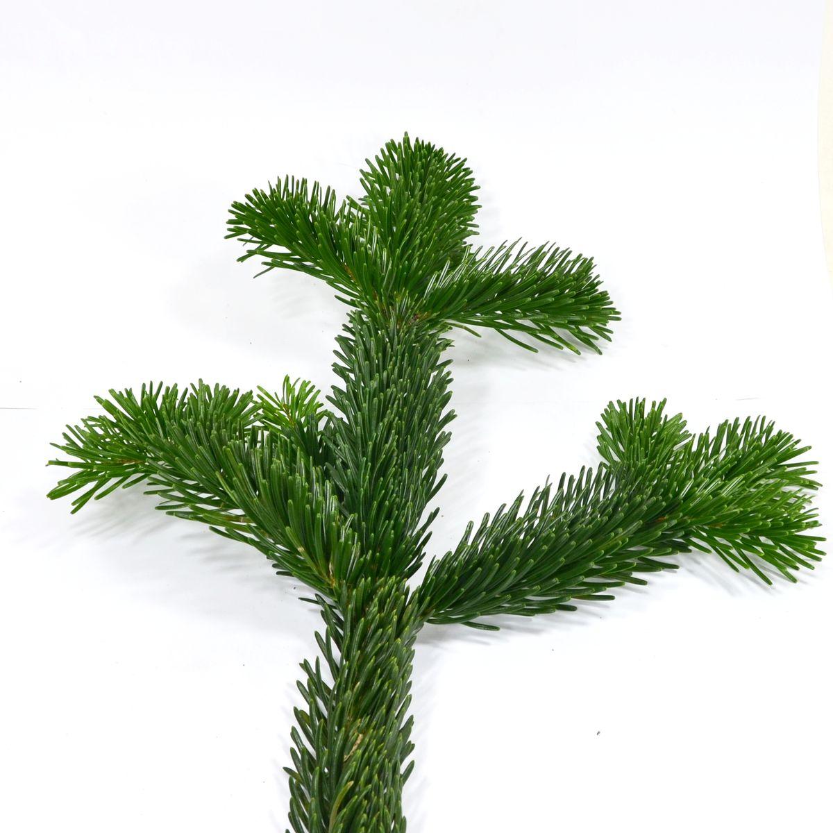 Nordmanntanne Weihnachtsbaum.Fichte Tanne Co Weihnachtsbäume Im Vergleich Baumpflegeportal