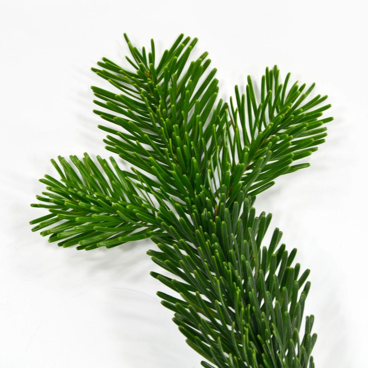 Weihnachtsbaumsorten im Vergleich: Die Nordmanntanne