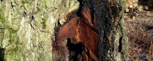 Schnittstelle an einer Birke mit dunklem Schleimfluss