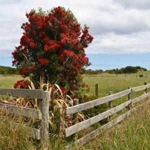 Kleiner Baum mit vielen roten Blüten hinter einem Holzzaun