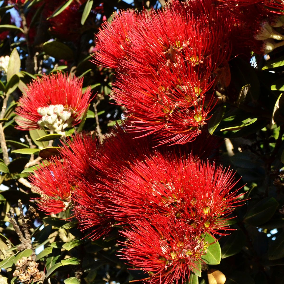 Pohutukawa - Neuselands Weihnachtsbaum